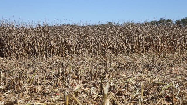 overall of a cornfield corn is harvested in fields near bloomington indiana october 16 2019 - dry stock videos & royalty-free footage