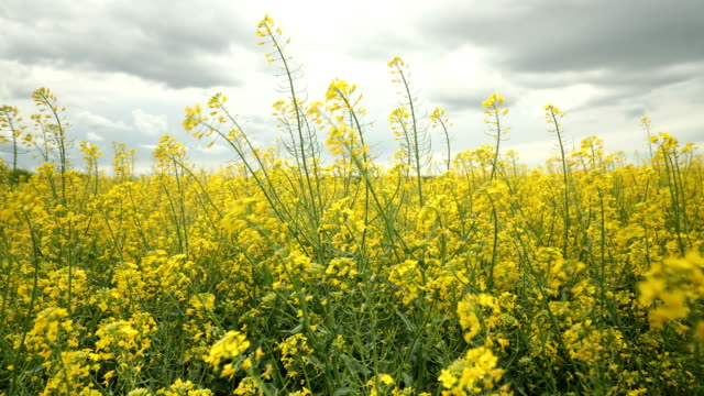 overcast above majestic rapeseed field - brassica rapa stock videos & royalty-free footage