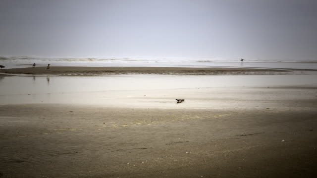 stockvideo's en b-roll-footage met overcast daytime time lapse at ocean shores, wa, of a sand bar that gets covered in the rising tide with sea birds walking throughout - getijde