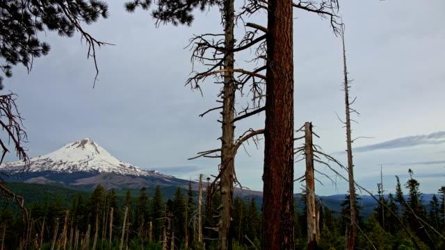 Overcast ponderosa pine trees and snowy mountain Mt. Hood