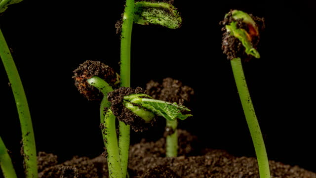 overground view of beans rotating and growing from sprouts, shot against a black background. - drehen stock videos & royalty-free footage
