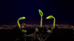 Overground view of three beans rotating and growing from sprouts, shot against a black background.
