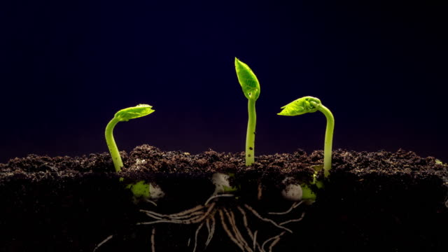 overground view of three beans rotating and growing from sprouts, shot against a black background. - plant stem stock videos & royalty-free footage