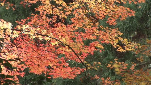 Overhanging maple branch with orange and yellow leaves