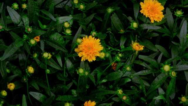 overhead close up time lapse yellow flowers (coreopsis) blooming - 生長 個影片檔及 b 捲影像