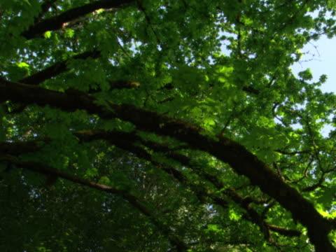 Overhead of maple limbs