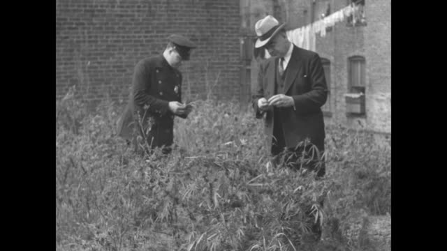 overhead shot of law enforcement officer standing in lot filled with marijuana plants, lot surrounded by buildings / closer shot of law enforcement... - narcotic stock videos & royalty-free footage