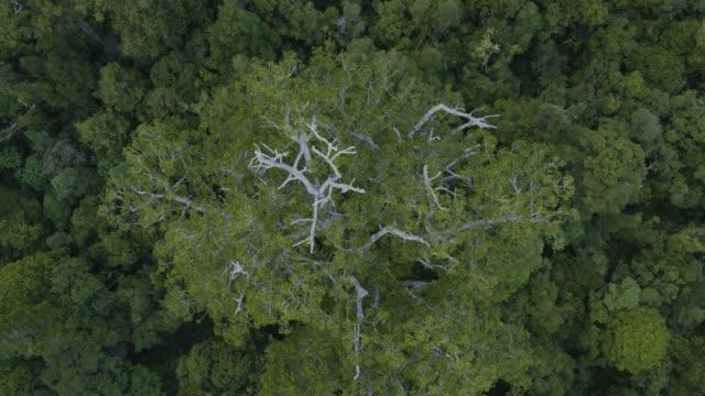 stockvideo's en b-roll-footage met overhead shot of the tane mahuta tree in the waipoua forest - bay of islands nieuw zeeland