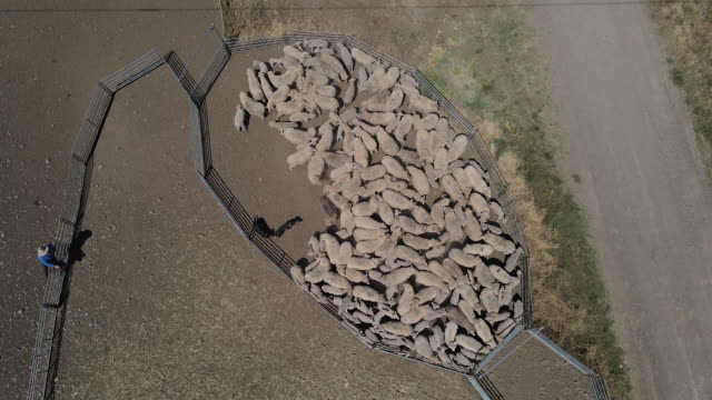 overhead view of flock of sheep being separated ahead of shearing near gunnedah in new south wales, australia on tuesday, october 13, 2020. - sheep shearing stock videos & royalty-free footage