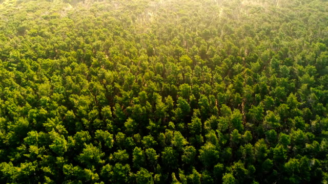 overhead view of pine forest. - pine stock videos & royalty-free footage