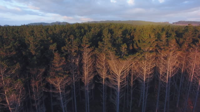 overhead view of pine woodland forest at muriwai, auckland, new zealand. - pine woodland stock videos & royalty-free footage