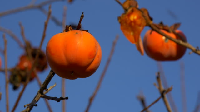 overripe persimmons on tree branches against blue sky