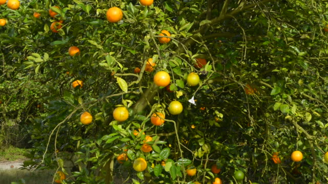 oviedo florida chuluota orange groves farming with oranges on trees in sunshine - grove stock videos & royalty-free footage