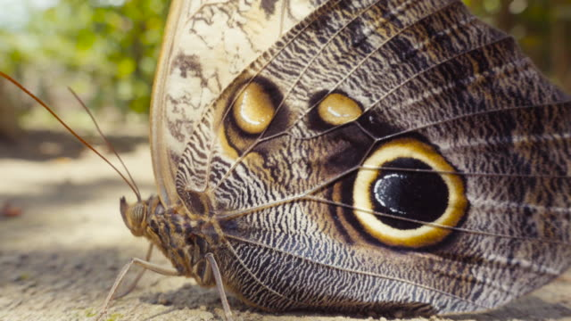owl butterfly close up. caligo atreus yellow-edged giant owl. tropical central america. hypnotic effect because of the shades movement made by the wind and the leafs. macro lens. - disguise stock videos and b-roll footage