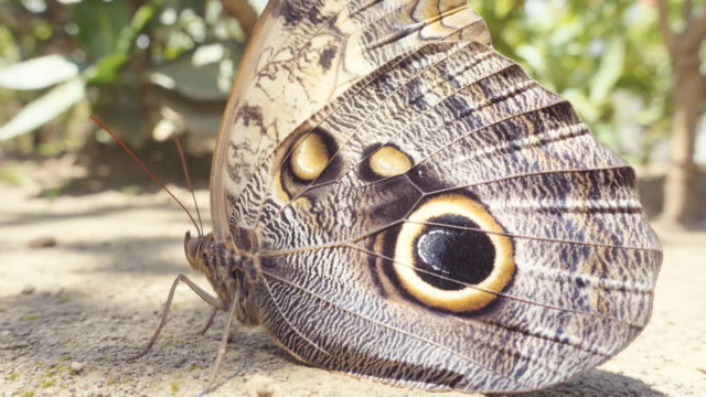 owl butterfly close up. caligo atreus yellow-edged giant owl. tropical central america. hypnotic effect because of the shades movement made by the wind and the leafs. macro lens. - tierflügel stock-videos und b-roll-filmmaterial