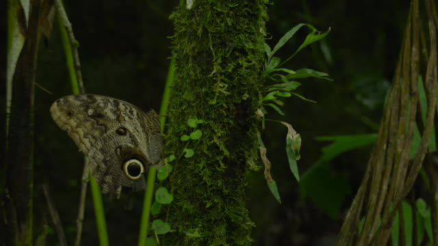 Owl butterfly (Caligo species) takes off from mossy tree trunk.