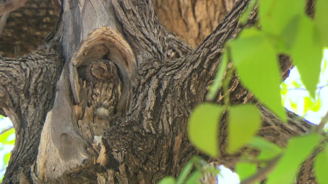 ms owl camouflaged in inbetween tree at entabeni private game reserve / limpopo, south africa - camouflage stock videos & royalty-free footage