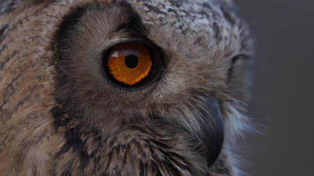 owl close up - alpi video stock e b–roll