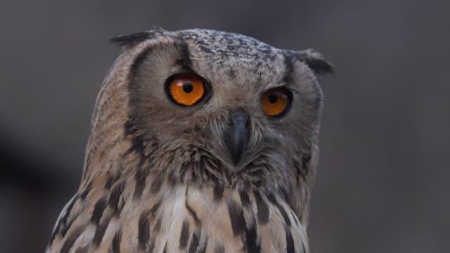 vídeos y material grabado en eventos de stock de buho de cerca - animales salvajes