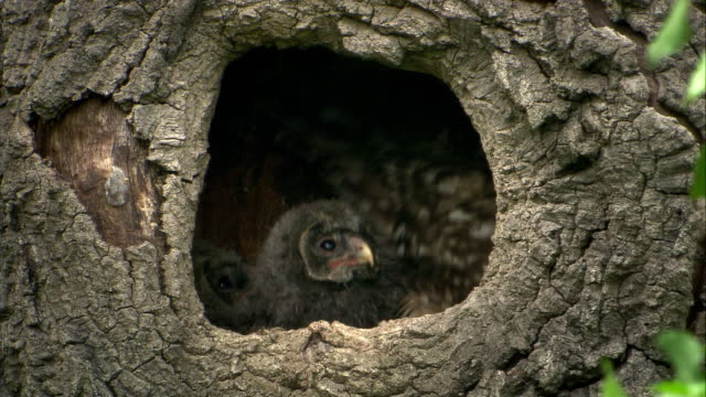 owl family - owl stock videos & royalty-free footage