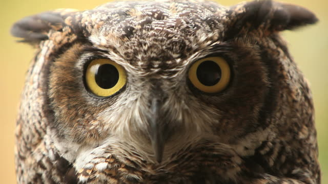 owl hd - owl stock videos & royalty-free footage