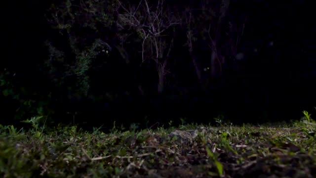 owl hunting wild rat, gangwon province, south korea - 猛禽点の映像素材/bロール