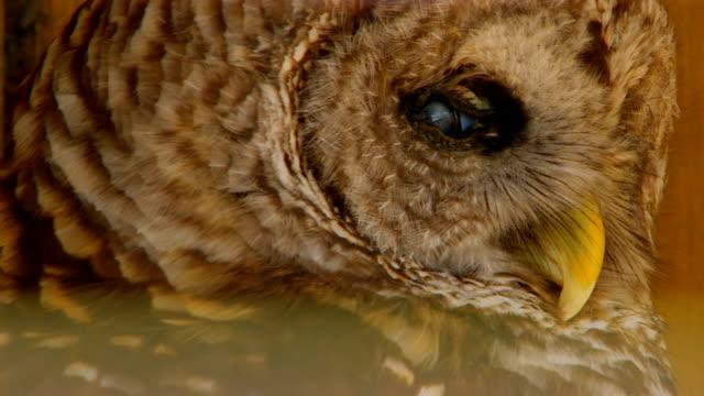 vídeos de stock, filmes e b-roll de owl in cage, close up - usa