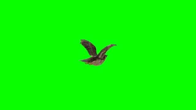 eule landung greenscreen (endlos wiederholbar) - zweiflügler stock-videos und b-roll-filmmaterial