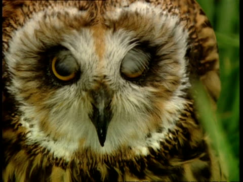 CU Owl looks to camera, then looks around in puzzlement