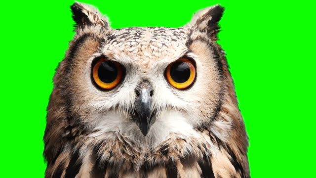 Owl on chromakey screen