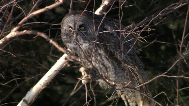 vídeos y material grabado en eventos de stock de owl perched in tree - animales cazando