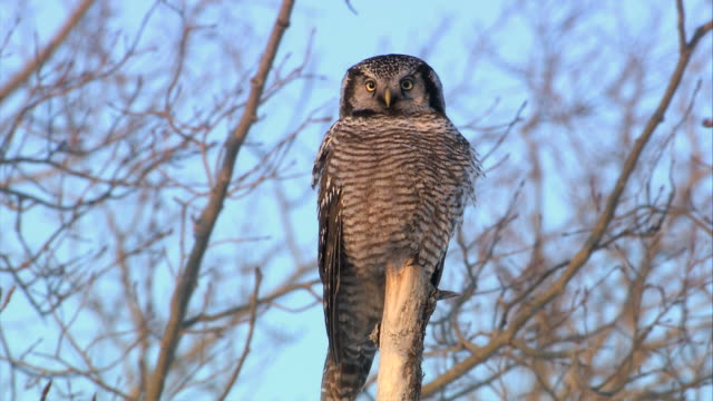 WS Owl perching on stares tree  / Winnipeg, Manitoba, Canada