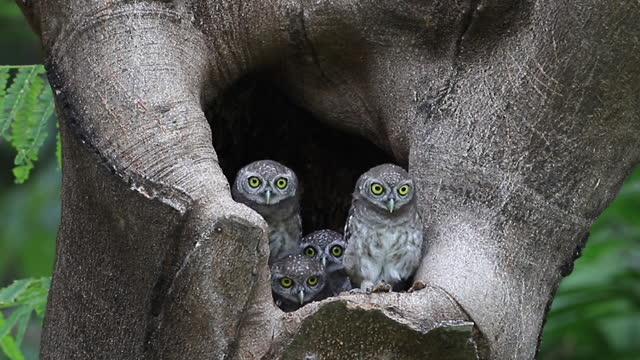 owl, spotted owlet (athene brama) is a small owl which breeds in tropical asia, pair living in the tree hole in nature - cute stock videos & royalty-free footage