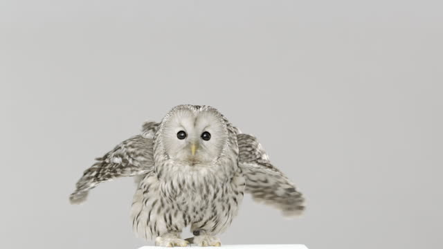 vidéos et rushes de owl standing on platform opening wings and turning head - animal mouth