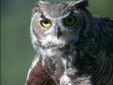cu owl staring / colorado, usa  - one animal stock videos & royalty-free footage