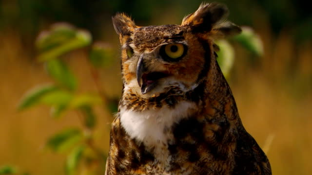 owl turning head, looking around, close up - neck stock videos & royalty-free footage