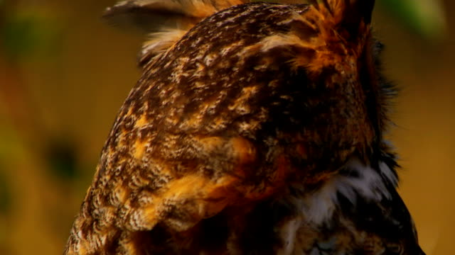 owl turning head, looking around, close up - animal neck stock videos & royalty-free footage