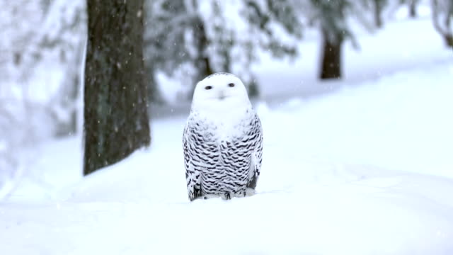 owl - snow stock videos & royalty-free footage