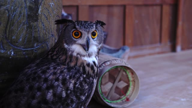 owl - bird of prey stock videos & royalty-free footage