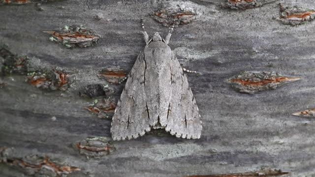 owlet moths (noctuidae) - gliedmaßen körperteile stock-videos und b-roll-filmmaterial