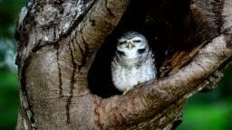 Owlet nest.