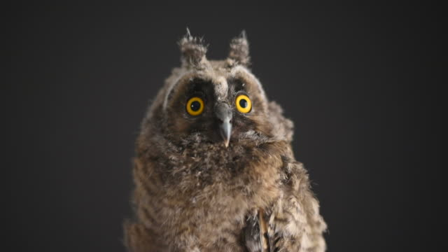 owlet on a black background - blinking stock videos and b-roll footage