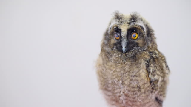 stockvideo's en b-roll-footage met owlet on a gray background - knipogen activiteit
