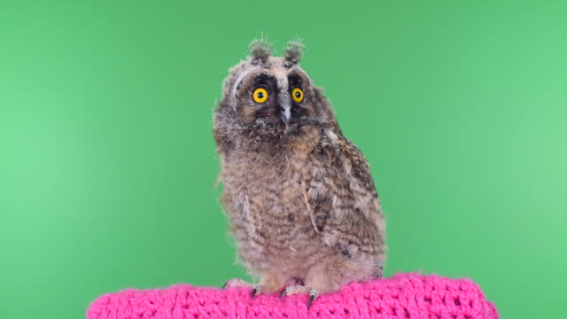 owlet on a green background with alpha channel - owl stock videos & royalty-free footage