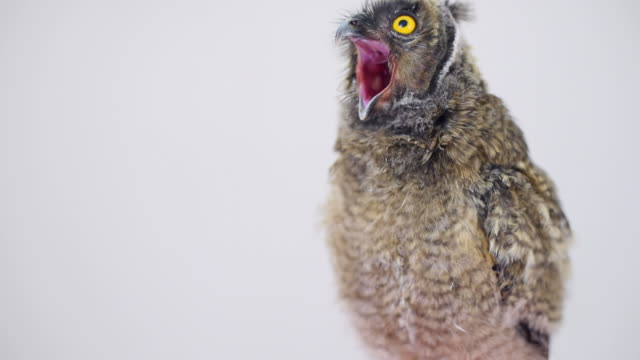owlet yawns on a gray background - blinking stock videos & royalty-free footage