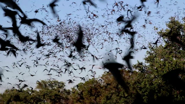 owls hunt in clouds flying mexican free-tailed bats texas - flying stock videos & royalty-free footage