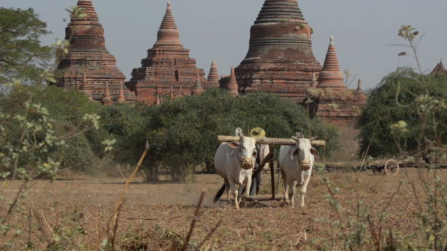 ms ox and cart ploughing furrow in field next to temples / bagan, mandalay region, myanmar - plough stock videos & royalty-free footage