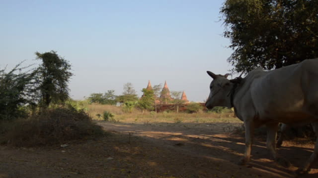 ms ox and cart transporting local family through rural area / bagan, mandalay region, myanmar - ox cart stock videos & royalty-free footage