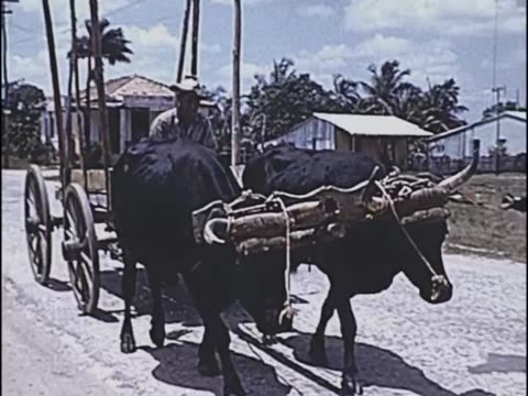1955 - ox cart - isle of pines, cuba - ox cart stock videos & royalty-free footage