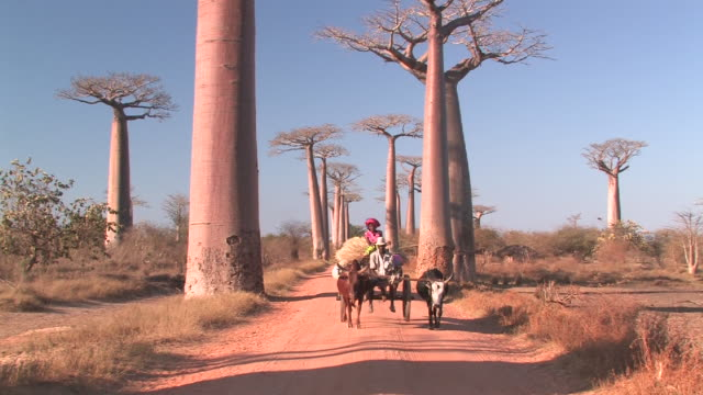 ws, ox cart on dirt road with baobab (adansonia grandidieri) trees, toliara province, madagascar - dirt track stock videos & royalty-free footage